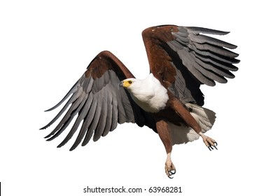 African Fish Eagle in flight - isolated on white