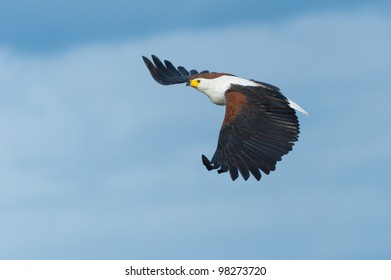 An African Fish Eagle in flight over the Chobe River in Botswana