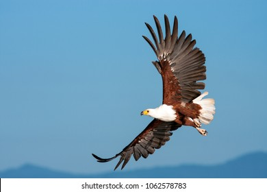 African Fish Eagle  flying against a clear sky