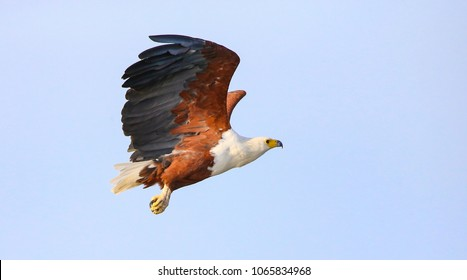 African fish eagle flying in the Chobe National park , Botswana.