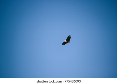 An African fish eagle flying in the sky