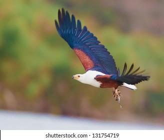 African Fish Eagle flying.Republic of Kenya.
