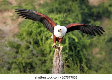 The African Fish Eagle (Haliaeetus vocifer) stands perched with a FISH in its talons, wings spread on a tree stump near the Kazinga Channel in Uganda, Africa
