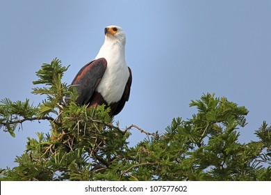 The African Fish Eagle (Haliaeetus vocifer) perches in an acacia tree near Kazinga Channel in Uganda, Africa