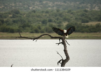 The African fish eagle (Haliaeetus vocifer) with one catfish in the talons after hunt. Sitting on the top of the branch in the lake. Green background.