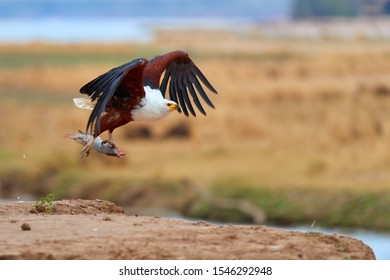 African fish eagle, Haliaeetus vocifer with fish in claws,  flying along camera above the rim of riverbank against Zambezi river flood plains in background. Safari photo. Mana Pools, Zimbabwe.