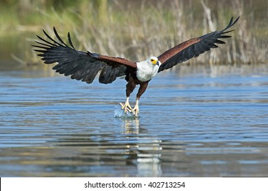 African Fish Eagle (Haliaeetus vocifer) with fish in talons