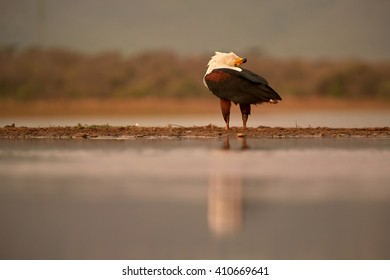 An African fish eagle, Haliaeetus vocifer, in typical pose while calling, on the shore of small lake against reddish blurred savanna in background. Low angle photography, KwaZulu Natal, South Africa.