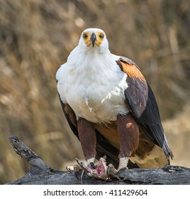 The African Fish Eagle (Haliaeetus vocifer). It is the national bird of Zimbabwe and Zambia.
