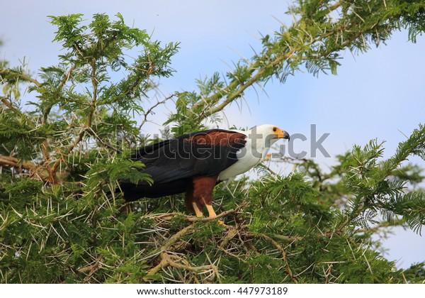 African fish eagle (Haliaeetus vocifer) in Queen Elizabeth National Park, Uganda