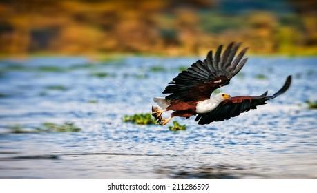 African fish eagle, Naivasha Lake National Park, Kenya