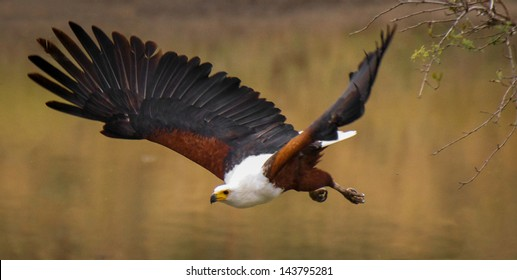 African Fish Eagle on the hunt.