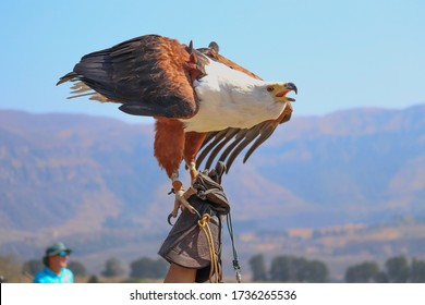 African Fish Eagle perched on its owners glove