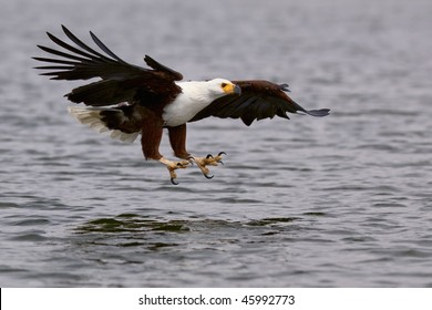 African Fish Eagle ready to catch fish