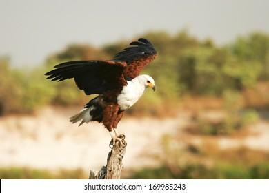 African Fish Eagle, Schreiseeadler