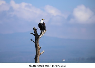 African fish eagle sits on deadwood at Lake Naivasha