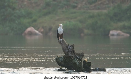 An African Fish Eagle in Uganda.