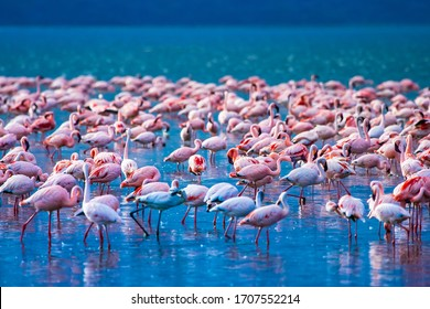 African flamingos. Group of flamingos stand in the water. Flock of flamingos on the background of blue lake. Flamingo in Kenya National Park. Birds in Lake Nakuru. Traveling on the African savannah