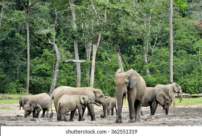 The African Forest Elephant, Loxodonta africana cyclotis, (forest dwelling elephant) of Congo Basin. At the Dzanga saline (a forest clearing) Central African Republic, Sangha-Mbaere, Dzanga Sangha