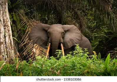 African forest (pygmy) elephant (Loxodonta) grazing in the dense forest in Gabon at Loango National Park