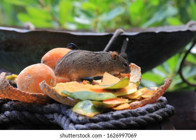 African four-striped grass mice or four-striped mice, Rhabdomys pumilio, feeding on fruits, Cape Infanta, South Africa
