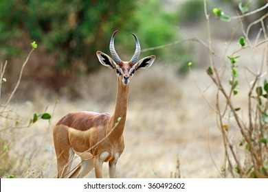 African Gazelle in the savannah of Tsavo gerenuk