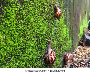African giant snails are walked slowly on a wet wall with green moss very fresh. They are classified in Achatina fulica species and Achatinidae family. They contain mucilage used in skin care.
