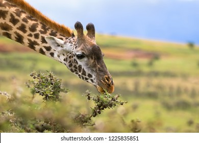 African giraffe feeding on Acacia whistling thorn at the rim of Ngorongoro Crater, Arusha Region, Tanzania, East Africa