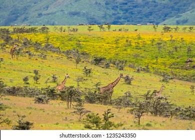 African giraffe feeding on Acacia whistling thorn at the rim of Ngorongoro Crater, Arusha Region, Tanzania, East Africa