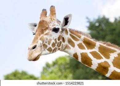 African Giraffe - Horizontal Head Shot