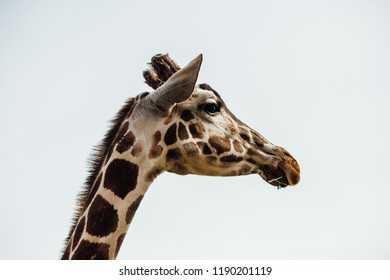 African giraffe with white background. Beautiful, strong animal.