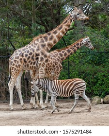 african giraffeWell known for their long necks, these gentle giants are the world's tallest living land animals. An adult male can grow to around 5.5m – that's taller than three adult humans
