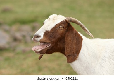 African goat with mouth open