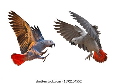 African gray parrot flying isolated on white.