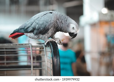 African Gray Parrot sits on cage and looks  down. Playful and affectionate bird able to talk.  loving and friendly social companion bird.  stunning dusty-gray color and looks quite similar to a pigeon