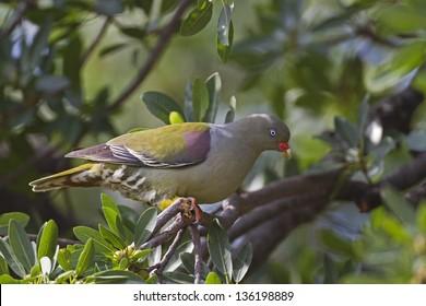 African Green Pigeon; Treron calvus