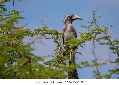 An African Grey Hornbill male is sitting on a tree of the Etosha National park in northern Namibia during summer