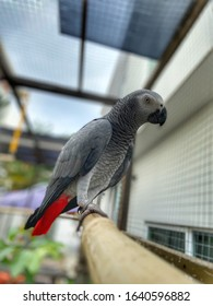 African Grey Parrot inside aviary