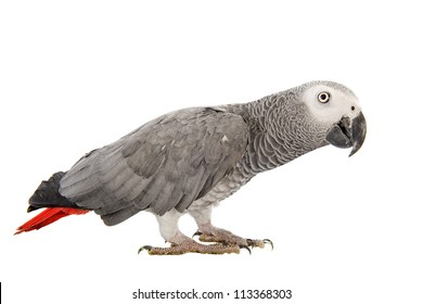 African Grey Parrot ,Psittacus erithacus in front of white background