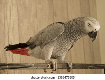 African grey parrot sitting on his perch with his red feathered tail visible. The background is a soft grey colored wood.   There is some space in the upper left of the image to add copy.