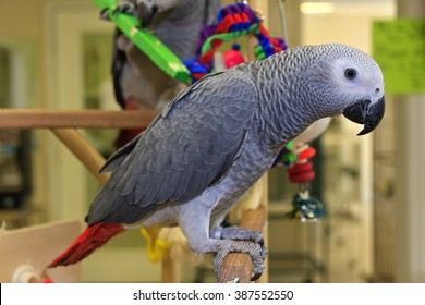 African Grey Parrot, young one sitting on a Play Stand