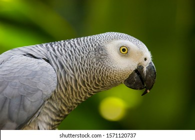 African grey parrot(Psittacus erithacus) closeup   The grey parrot is a medium-sized, predominantly grey, black-billed parrot.  It has darker grey over the head and both wings,