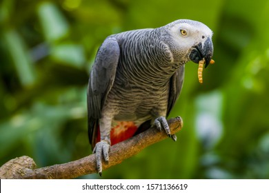 African grey parrot(Psittacus erithacus) is eating worm. The grey parrot is a medium-sized, predominantly grey, black-billed parrot.  It has darker grey over the head and both wings,