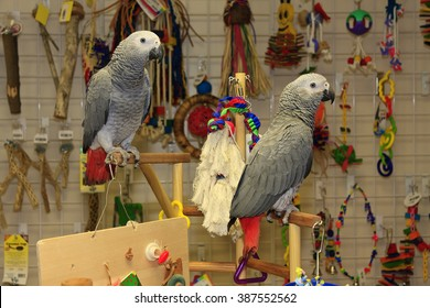 African Grey Parrots on a Play Stand in a Pet Store