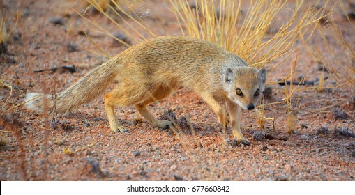 African ground squirrels (genus Xerus) form a taxon of squirrels under the subfamily Xerinae. They are only found in Africa.