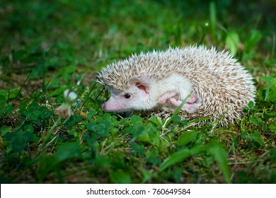 African hedgehog on the grass