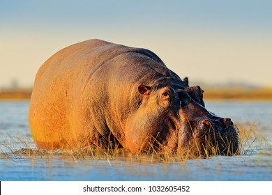 African Hippopotamus, Hippopotamus amphibius capensis, with evening sun, Chobe River, Botswana. Danger animal in the water. Wildlife scene from African nature. Big mammal in the lake.