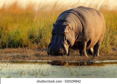 African Hippopotamus, Hippopotamus amphibius capensis, with evening sun, Chobe River, Botswana. Dangerous animal in the water.