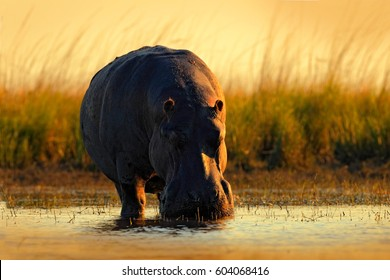 African Hippopotamus, Hippopotamus amphibius capensis, with evening sun, animal in the nature water habitat, Chobe River, Botswana, Africa. Wildlife scene from nature.