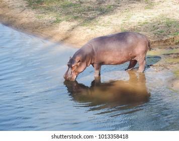 African hippopotamus (Hippopotamus amphibius) in the open zoo. Thailand.
